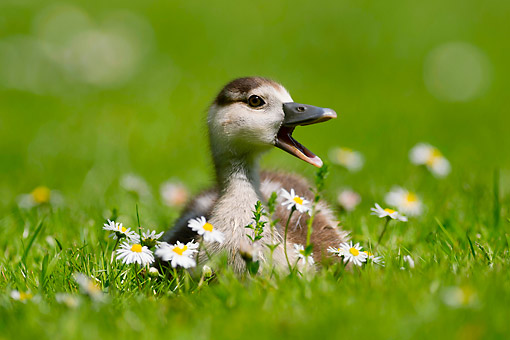 BRD 20 AC0022 01 © Kimball Stock Egyptian Goose Chick Sitting In Grass And Flowers, Germany