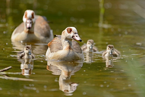 BRD 20 AC0026 01 © Kimball Stock Egyptian Geese Swimming With Young
