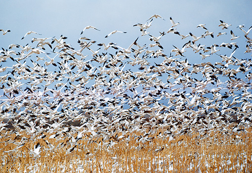 BRD 20 BA0001 01 © Kimball Stock Flock Of Snow Geese Flying