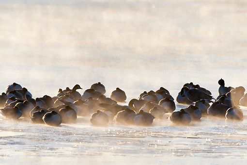 BRD 20 DA0002 01 © Kimball Stock Silhouette Of Canada Geese On Frozen Lake At Sunrise, Illinois