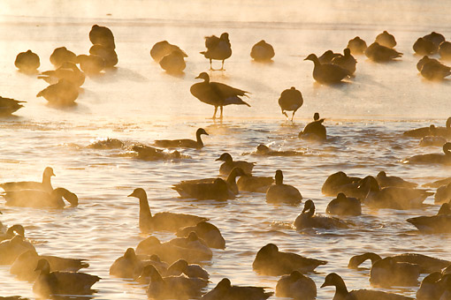 BRD 20 DA0003 01 © Kimball Stock Silhouette Of Canada Geese On Frozen Lake At Sunrise, Illinois