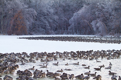BRD 20 DA0005 01 © Kimball Stock Flock Of Canada Geese On Frozen Lake, Illinois