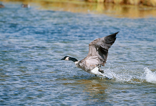 BRD 20 GL0001 01 © Kimball Stock Canadian Goose Taking Off From Water