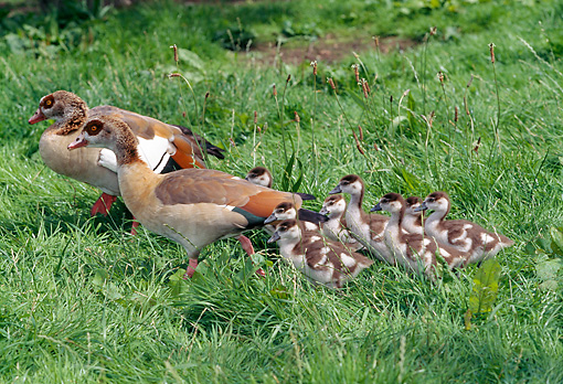 BRD 20 GL0002 01 © Kimball Stock Egyptian Geese And Chicks Walking Through Grass