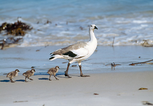 BRD 20 GL0003 01 © Kimball Stock Kelp Goose Mother Walking On Beach With Chicks Following