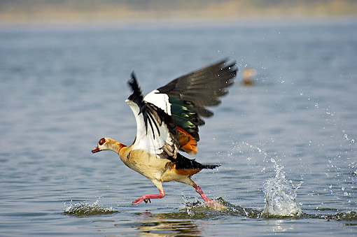 BRD 20 GL0004 01 © Kimball Stock Egyptian Goose Taking Off From Water In Kenya