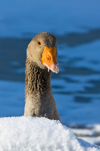 BRD 20 KH0001 01 © Kimball Stock Head Shot Of Greylag Goose In Snow