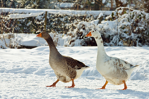 BRD 20 KH0002 01 © Kimball Stock Greylag Geese Walking Through Snow