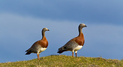 BRD 20 KH0004 01 © Kimball Stock Two Grey-Headed Geese Standing On Hill Tierra Del Fuego National Park, Argentina