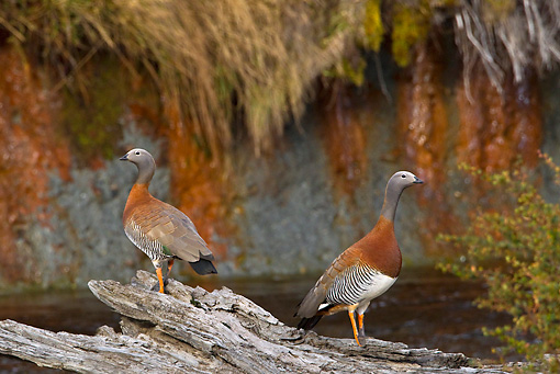 BRD 20 KH0005 01 © Kimball Stock Two Grey-Headed Geese Standing On Log Near River Tierra Del Fuego National Park, Argentina