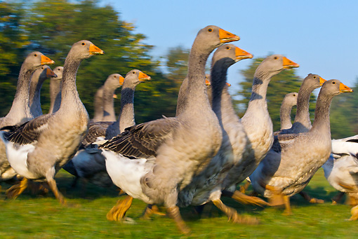 BRD 20 KH0012 01 © Kimball Stock Group Of Domestic Grey Geese Walking In Meadow France