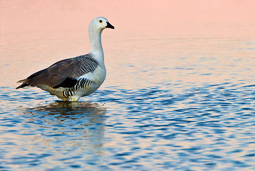 BRD 20 KH0014 01 © Kimball Stock Magellan Goose Wading In Coastal Lagoon At Sunrise, Falkland Islands