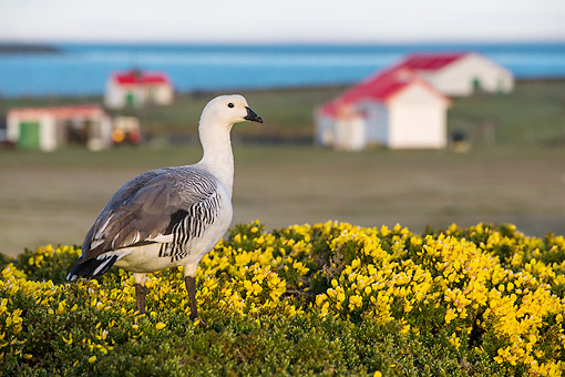 BRD 20 KH0015 01 © Kimball Stock Upland Goose Male Standing In Gorse Near Farm Falkland Islands