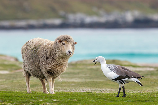 BRD 20 KH0016 01 © Kimball Stock Sheep And Upland Goose Standing Face To Face On Farm Falkland Islands