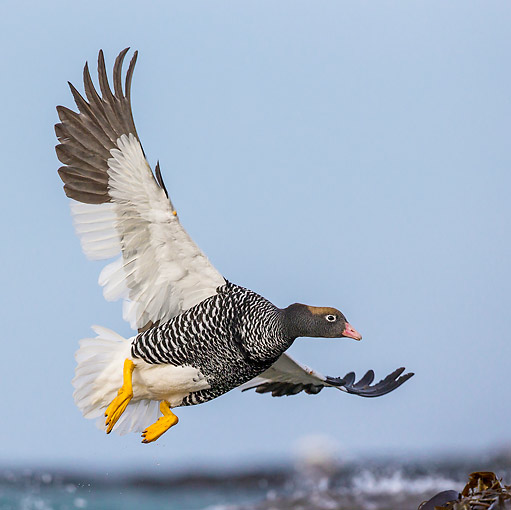 BRD 20 KH0020 01 © Kimball Stock Kelp Goose Female In Flight In Falkland Islands