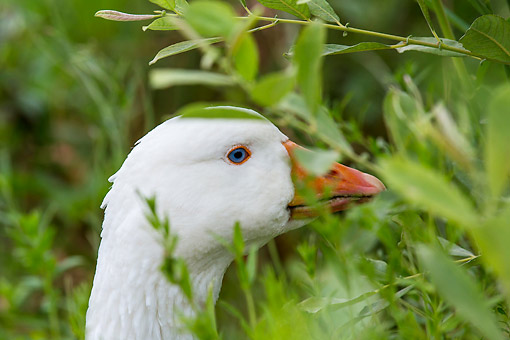BRD 20 KH0021 01 © Kimball Stock Head Shot Of Curly Goose In Vegetation France