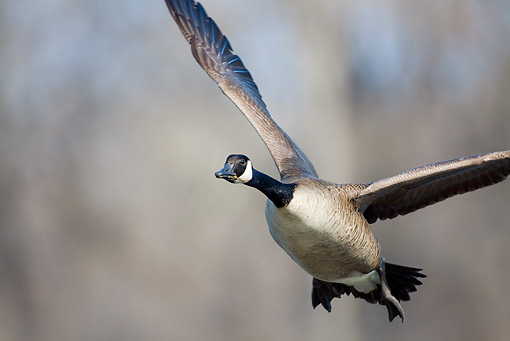 BRD 20 LS0003 01 © Kimball Stock Canada Goose In Flight Over Mississippi River