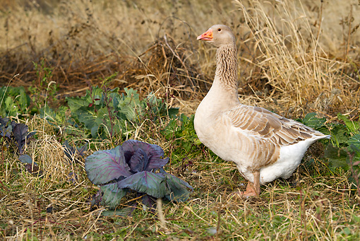 BRD 20 LS0004 01 © Kimball Stock Domestic American Buff Goose Foraging In Cabbage Patch Calamus, Iowa