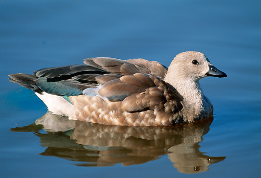 BRD 20 MH0001 01 © Kimball Stock Portrait Of Blue-Winged Goose In Pond