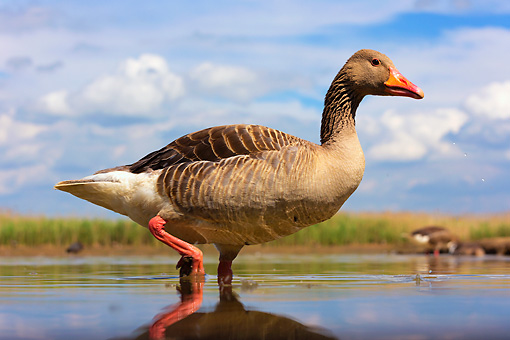 BRD 20 MH0012 01 © Kimball Stock Greylag Goose Standing In Shallow Water