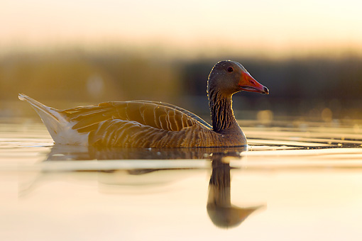 BRD 20 MH0013 01 © Kimball Stock Greylag Goose Wading In Water At Sunset