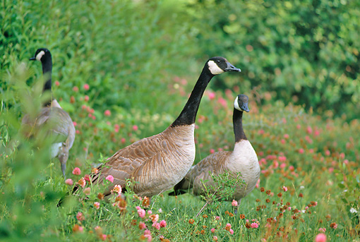 BRD 20 RK0027 01 © Kimball Stock Canadian Geese In Flower Field