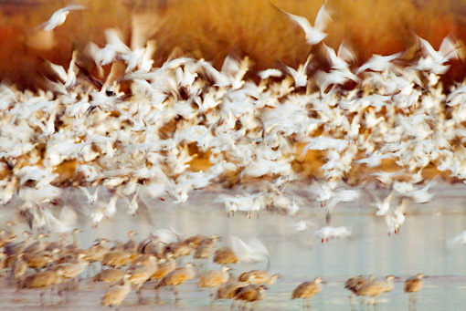BRD 20 RW0001 01 © Kimball Stock Flock Of Snow Geese Flying