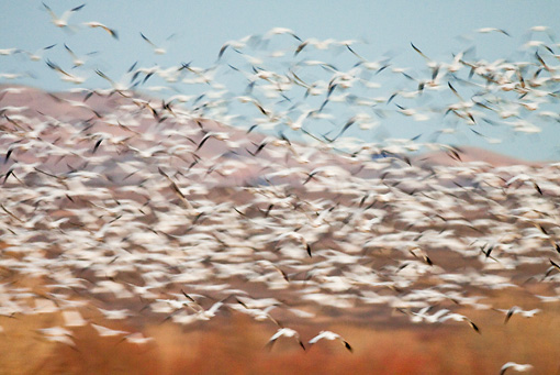 BRD 20 RW0002 01 © Kimball Stock Flock Of Snow Geese Flying