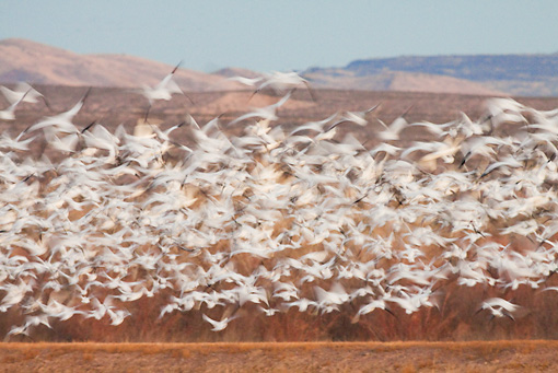 BRD 20 RW0003 01 © Kimball Stock Flock Of Snow Geese Flying