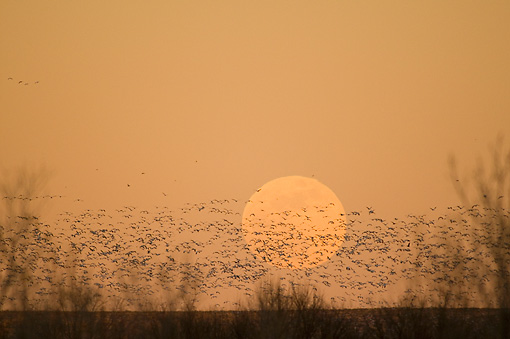 BRD 20 SK0006 01 © Kimball Stock Flock Of Snow Geese Flying In Front Of Full Moon At Sunset