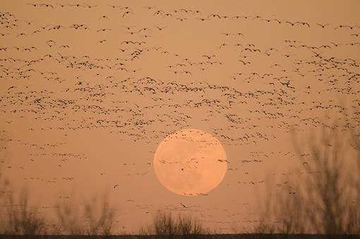 BRD 20 SK0007 01 © Kimball Stock Flock Of Snow Geese Flying In Front Of Full Moon At Sunset