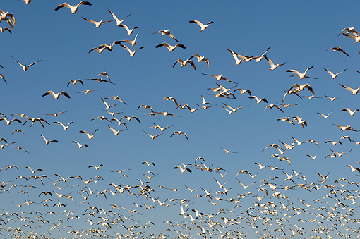 BRD 20 SK0008 01 © Kimball Stock Flock Of Snow Geese Flying