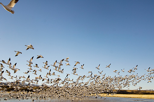 BRD 20 SK0009 01 © Kimball Stock Flock Of Snow Geese Flying Above Pond