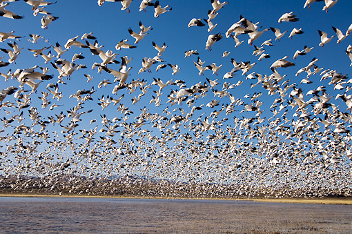 BRD 20 SK0010 01 © Kimball Stock Flock Of Snow Geese Flying Above Pond