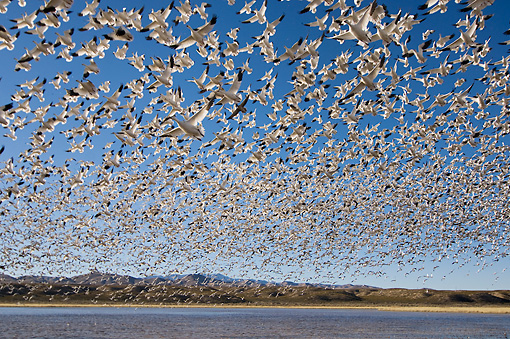 BRD 20 SK0011 01 © Kimball Stock Flock Of Snow Geese Flying Above Pond