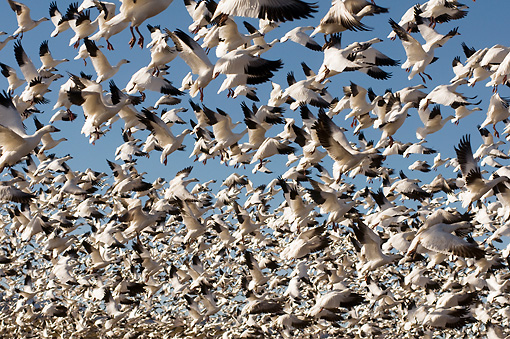 BRD 20 SK0012 01 © Kimball Stock Flock Of Snow Geese Taking Off