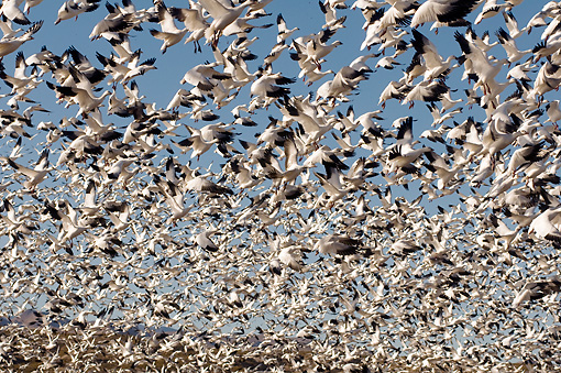 BRD 20 SK0013 01 © Kimball Stock Flock Of Snow Geese Taking Off