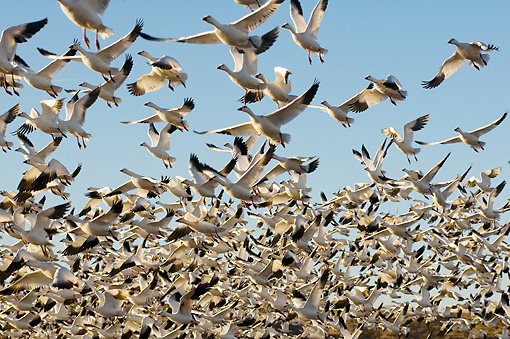 BRD 20 SK0014 01 © Kimball Stock Flock Of Snow Geese Taking Off