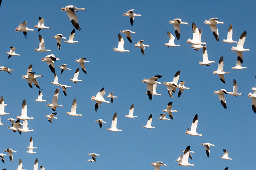 BRD 20 SK0015 01 © Kimball Stock Flock Of Snow Geese Flying