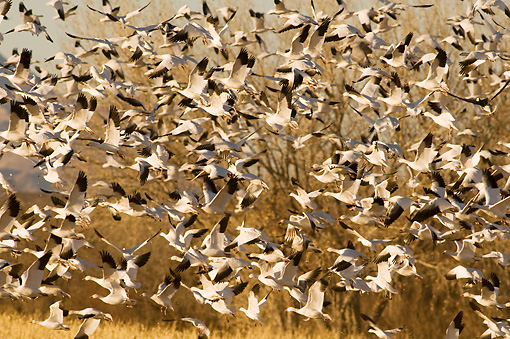 BRD 20 SK0016 01 © Kimball Stock Flock Of Snow Geese Flying