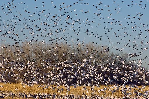 BRD 20 SK0017 01 © Kimball Stock Flock Of Snow Geese Flying Over Pond
