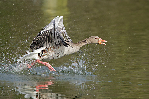 BRD 20 WF0002 01 © Kimball Stock Graylag Goose Taking Off From Water