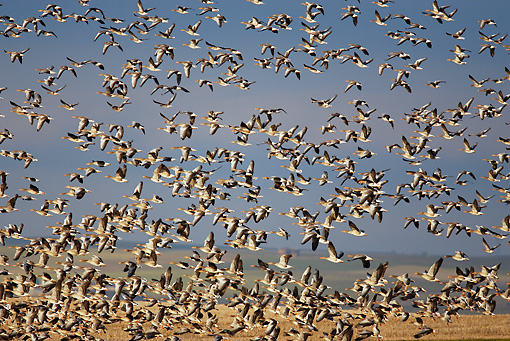 BRD 20 WF0003 01 © Kimball Stock Flock Of Graylag Goose In Flight