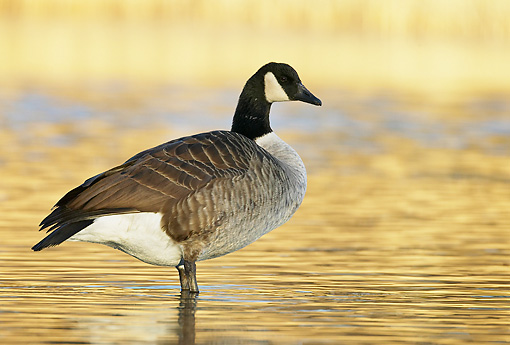 BRD 20 WF0004 01 © Kimball Stock Canadanian Goose Standing In Shallow Golden Water