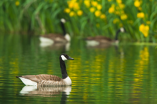 BRD 20 WF0005 01 © Kimball Stock Canadanian Goose Swimming In Lake By Yellow Iris