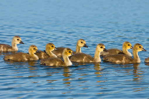 BRD 20 WF0006 01 © Kimball Stock Group Of Canadanian Geese Ducklings Swimming In Lake