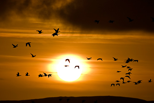 BRD 20 WF0007 01 © Kimball Stock Flock Of Barnacle Geese Flying At Sunrise