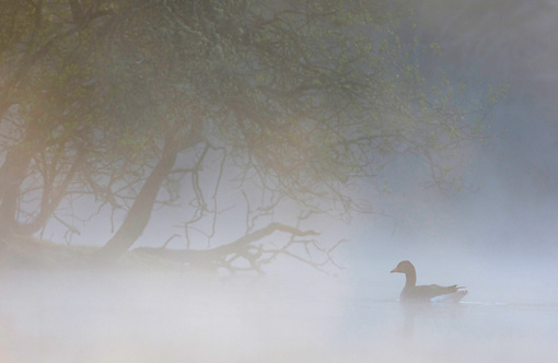 BRD 20 WF0008 01 © Kimball Stock Greylag Goose On Misty Lake At Dawn