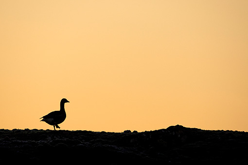 BRD 20 WF0009 01 © Kimball Stock Silhouette Of Greylag Goose At Sunrise