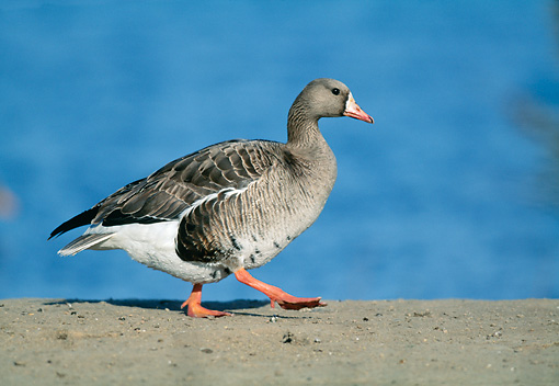 BRD 20 WF0011 01 © Kimball Stock Greater White-Fronted Goose Walking On Sand